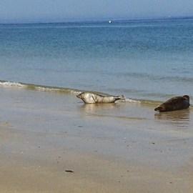Schwimmen mit Seehunden …