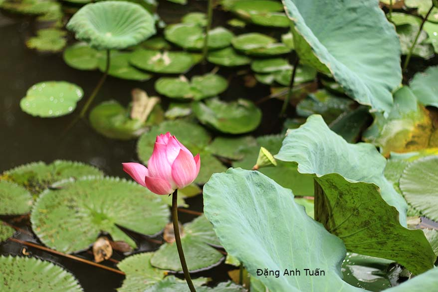 lotus in water plant diagram honda fit ecu wiring hoa sen the vietnamese art landscape is often built according to an ancient immutable cổ diển this one determines elements particular