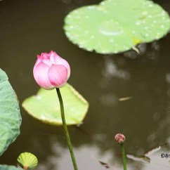 Lotus In Water Plant Diagram Alarm System Circuit Hoa Sen This Country It Forms Part Of The Four Noble Plants Tứ Qui Mai Plum Tree Lien Cuc Chrysanthemum Truc Bamboo Used