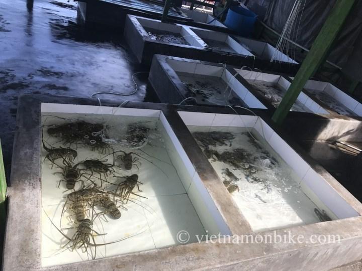 Lobsters on Bình Ba