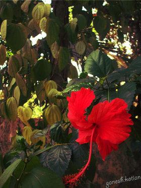 Rosa-Sinensis by Ganesh Kotian (https://ganeshkotian.wordpress.com/)