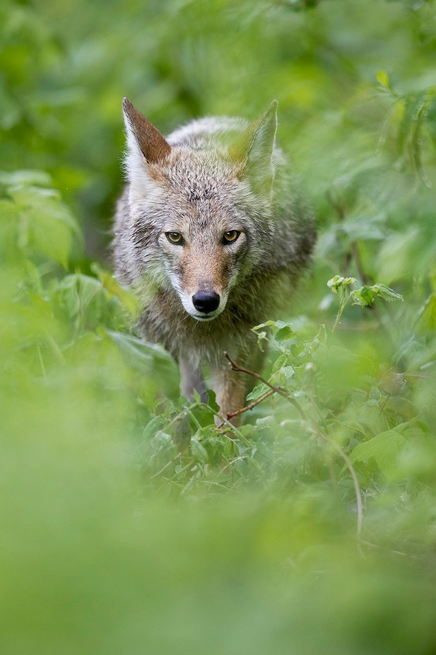 Coyote by brandonbroderick - Celebrating Nature Photo Contest Vol 5