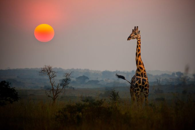 Giraffe in the African Sunrise by andyglogower - The Wonders of the World Photo Contest