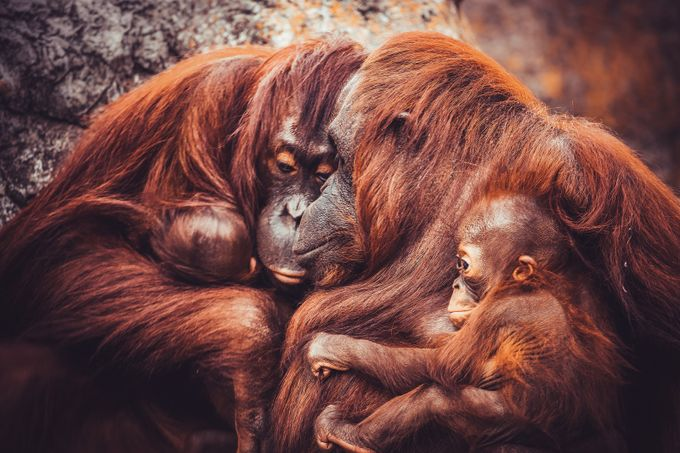 Mother Orangutans by ajc555 - The Wonders of the World Photo Contest