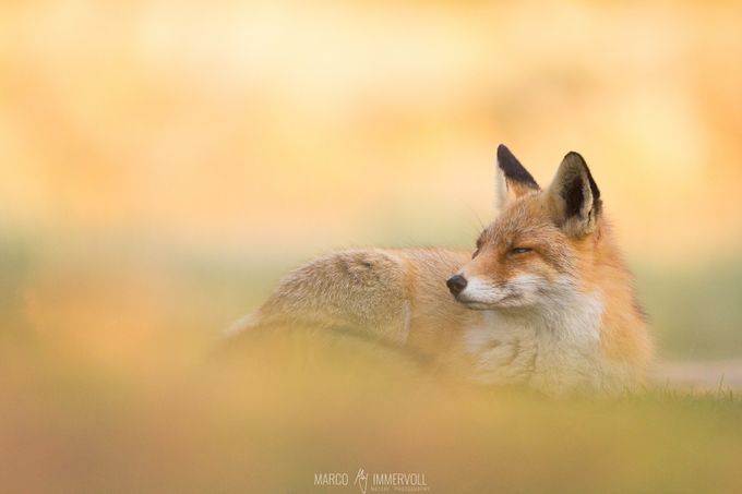 Chilling Fox by marcoimmervoll - Celebrating Nature Photo Contest Vol 5