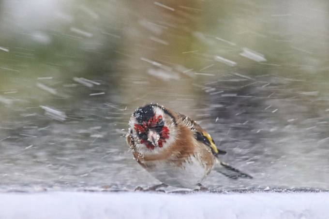 Goldfinch in a blizzard by JackieT - Celebrating Nature Photo Contest Vol 5