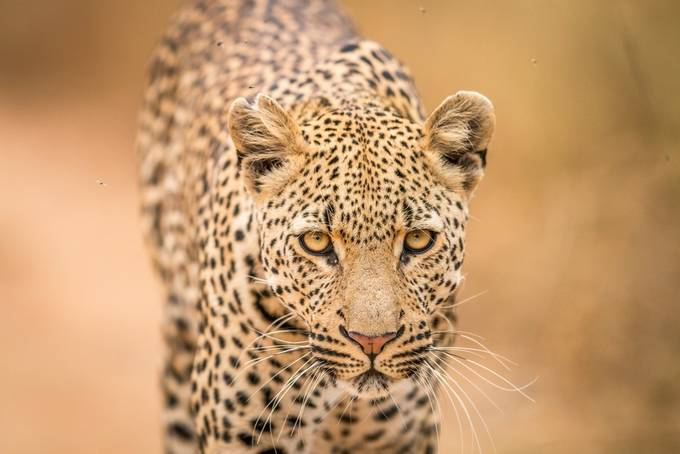 Eye contact by Simon_eeman - Celebrating Nature Photo Contest Vol 5