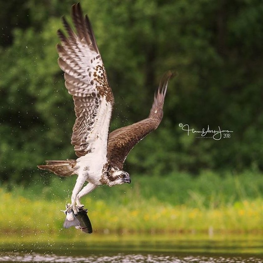 Gotcha! . . .  #osprey #scottishwildlife  #bbcwildlifemagazine #scottishwild by howardashton-jones - Celebrating Nature Photo Contest Vol 5