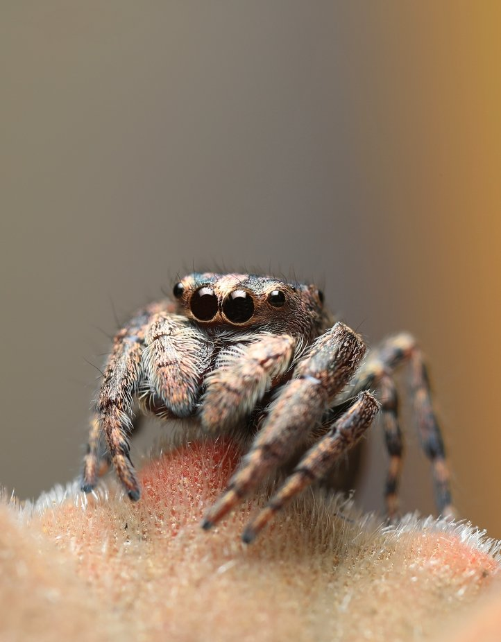 Jumping Spider. by biglenswildlife - Monthly Pro Photo Contest Vol 45