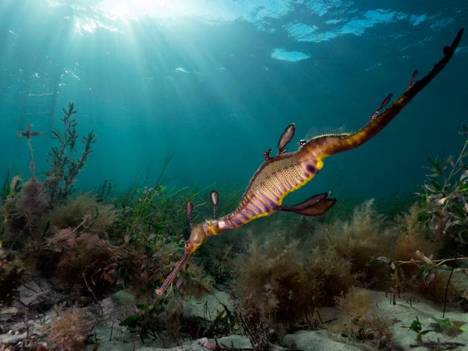 Sea Dragon by Ashley_Missen - Image Of The Month Photo Contest Vol 37