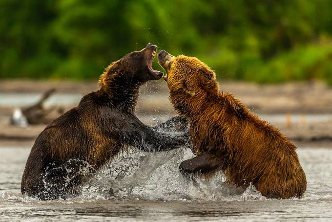 Bears Fighting by Hymakar - Image Of The Month Photo Contest Vol 37
