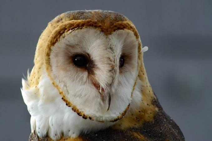 Barn Owl by JoAnneRobbinsSmith - Monthly Pro Photo Contest Vol 45