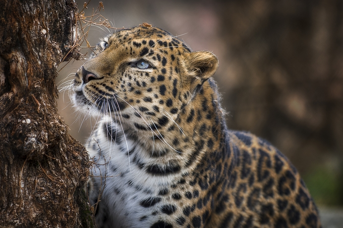 leopard by marcortez - Image Of The Month Photo Contest Vol 37