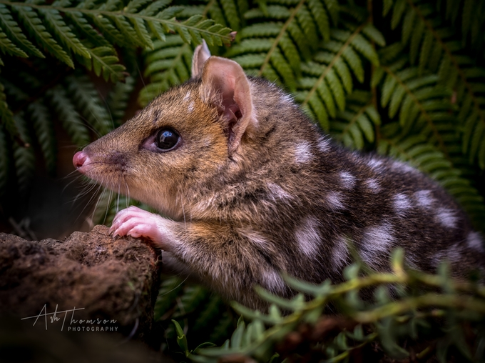 The endangered Eastern Quoll by AshThomson - Image Of The Month Photo Contest Vol 37