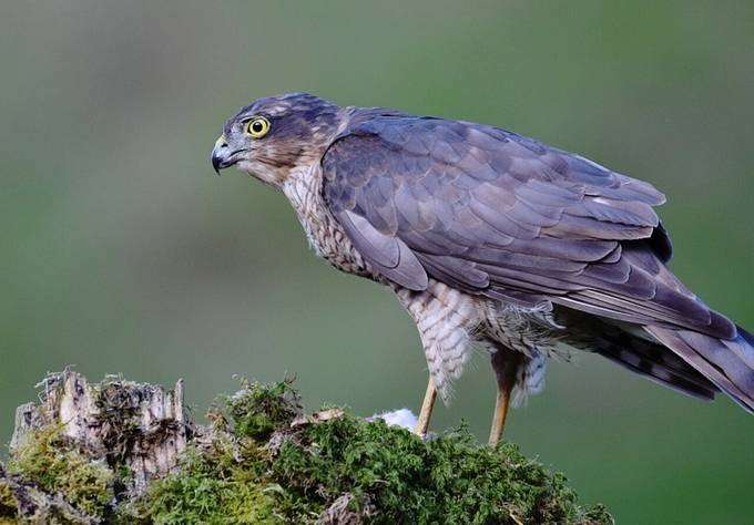 Sparrowhawk!! by leemccudden - Image Of The Month Photo Contest Vol 37