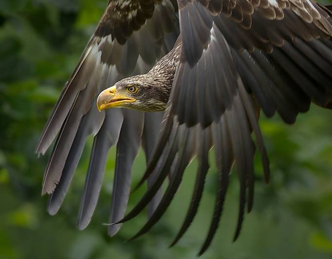 The focus of the eagle by mvbalkom - The Wonders of the World Photo Contest