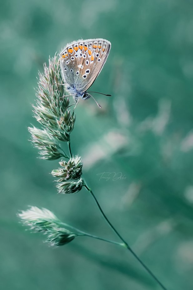 Common Blue  by traceydobbs - Shallow Depth Photo Contest
