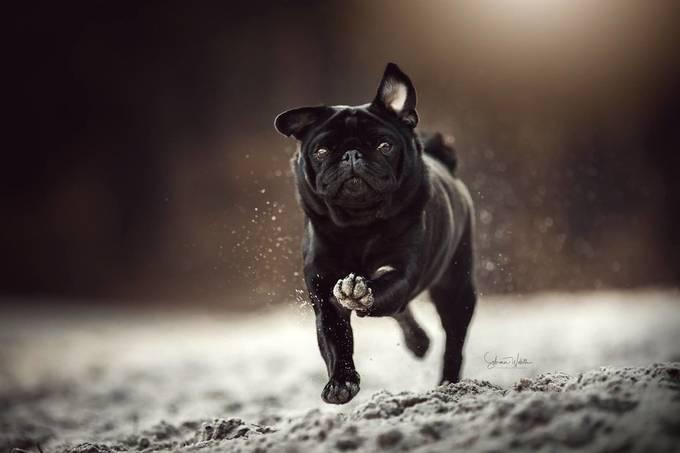 Black Pug running by sabrinawob - Shallow Depth Photo Contest