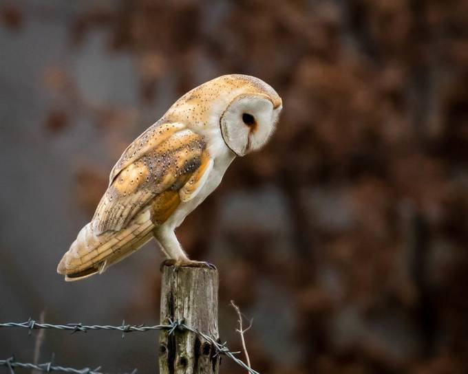 Barn Owl by KeithGriffiths - Image Of The Month Photo Contest Vol 43