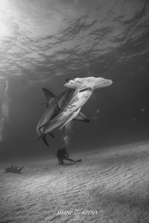 Great Hammerhead shark and diver by smkeena - My Best New Shot Photo Contest