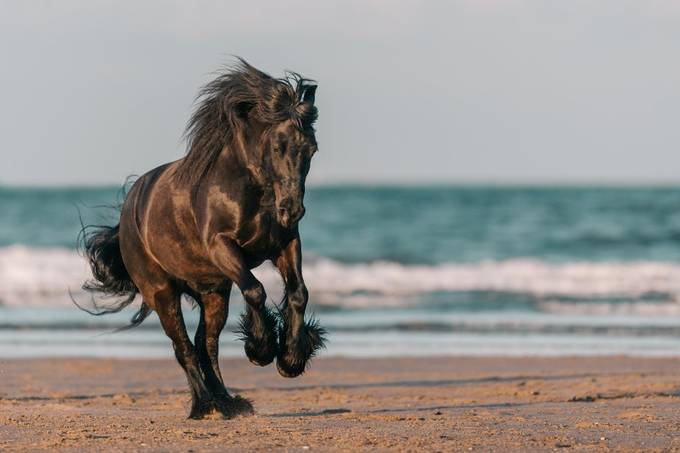 A fell pony canters across the beach.  by PerfectPoniesEquine - My Best New Shot Photo Contest