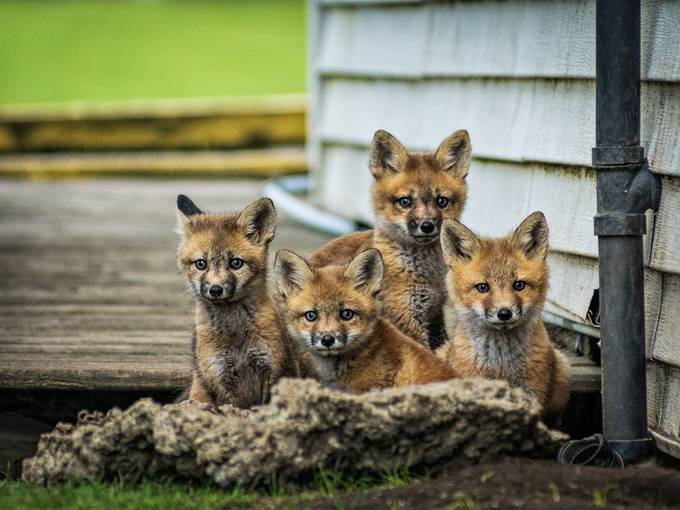 Red Fox babies by josephleduc - My Best New Shot Photo Contest