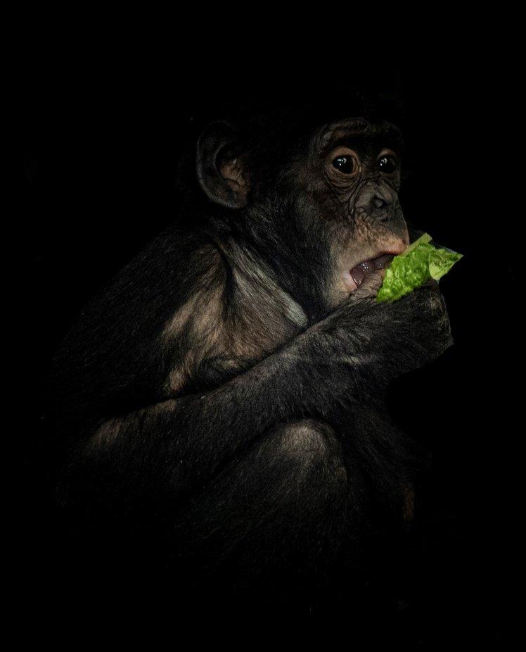 DSC_9717 Bonobo Monkey potrait (2) by BenDufeck - My Best New Shot Photo Contest