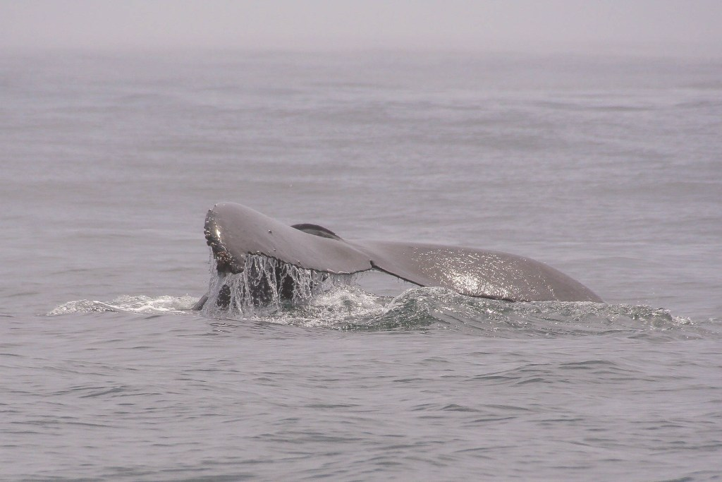 Whale Whatching - Monterey Bay