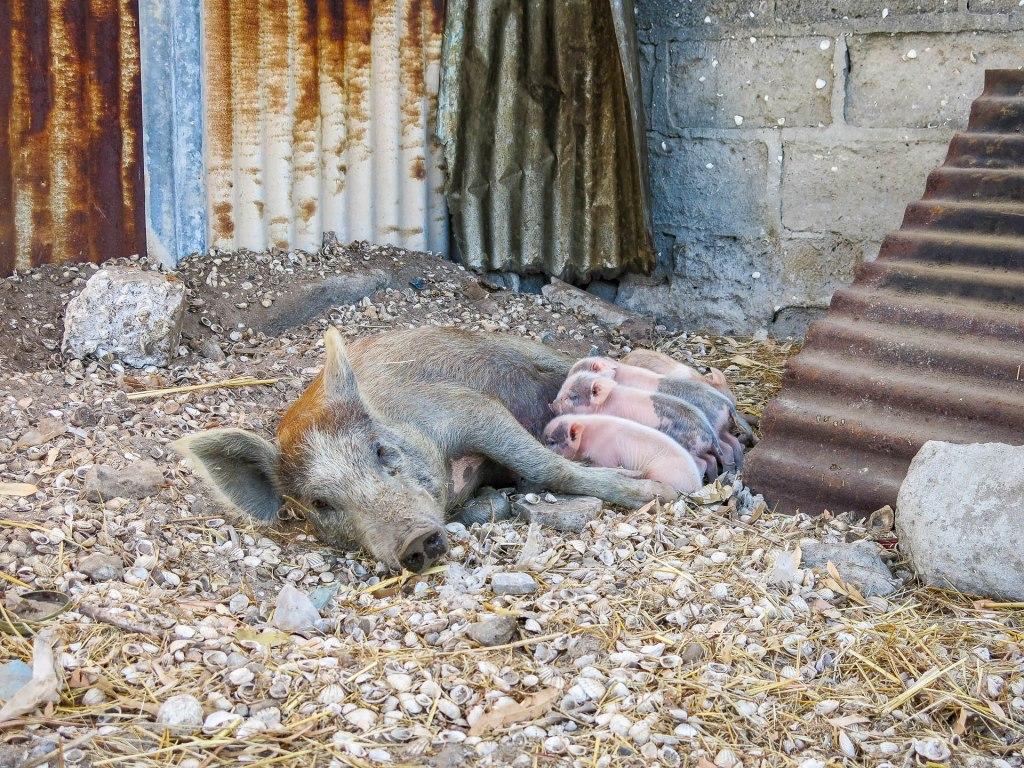 Schweine in einer christlichen Enklave (Fadiout)
