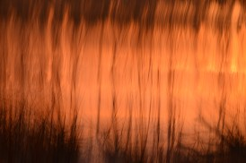 Grasses at Sunrise - Julie Darby