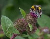 Jillian Koernich - Bumble Bee (Nature - PDI, SOM)