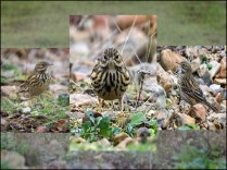 SILVER - Meadow Pipits by Terry Jamieson