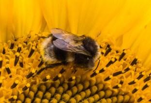 Jillian Koernich_Sunflower bee