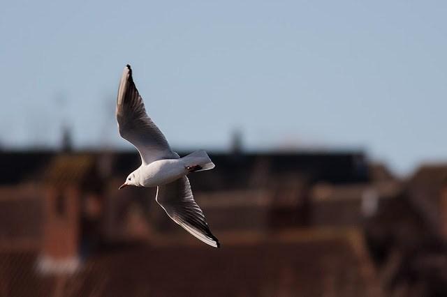 The Long Walk - Black heaed gull in flight