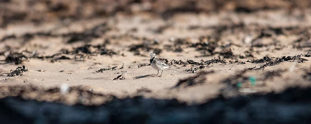Pied Wagtail on beach