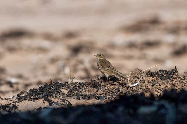 Rock Pipit on the beach (Broadstairs, by ski ramp)