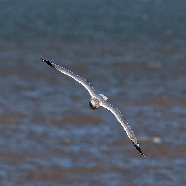 Adult Herring gull flying straight at the camera