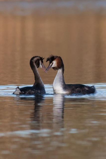The Dance Begins - Great crested grebe dance