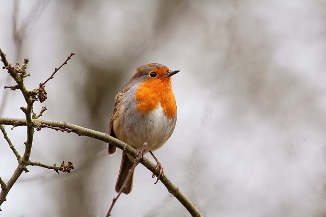 The Perfect Shot and the disappointment of my patch - European Robin, Loughton Valley Park, Milton Keynes