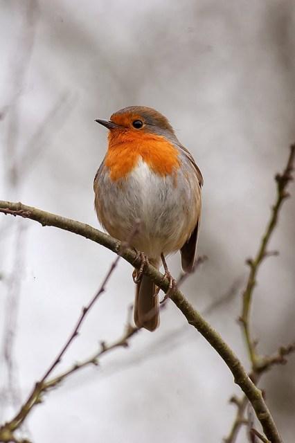 another European Robin, Loughton Valley Park, Milton Keynes