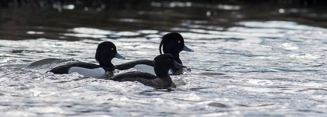 Tufted Ducks together on Lodge Lake, Milton Keynes