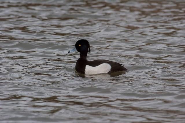 Male Tufted Duck, Lodge Lake, Milton Keynes