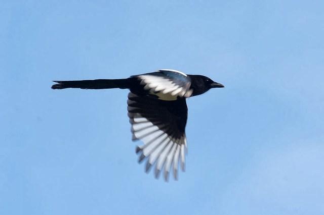 Magpie in Flight- Loughton Valley Park, Milton Keynes
