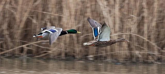 Mallards in flight - Lodge Lake, Milton Keynes
