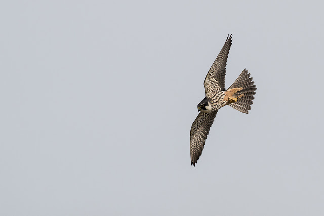 5 Top Birding Spots in Milton Keynes - pictured bird is a Hobby hawking over the Floodplain Forest Nature reserve.