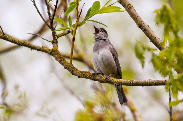 Singing Blackcap - Lodge Lake, Milton Keynes