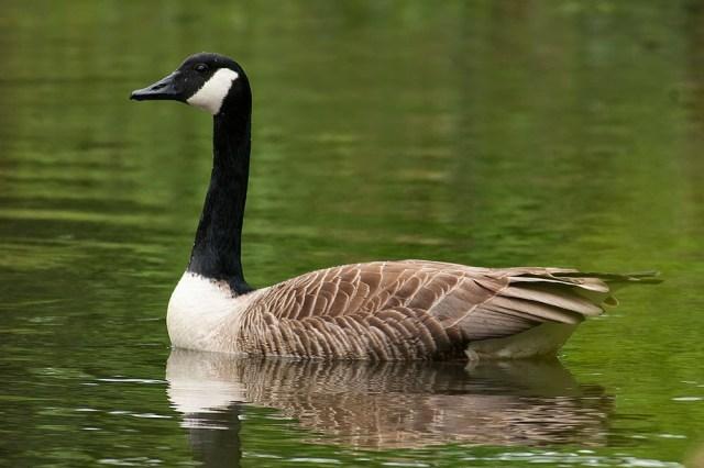 Canada Goose - Bradwell Abbey, Milton Keynes