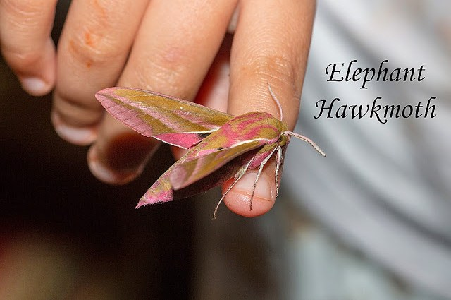 Kids and Moths - Bo holding an Elephant Hawkmoth