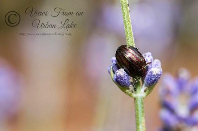 Rosemary Leaf Beetle - Great Holm, Milton Keynes