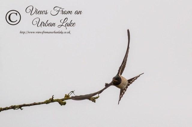 Swallow in flight (coming for a landing) - Manor Farm, Milton Keynes